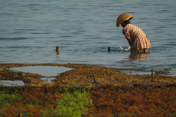 Seaweed Farming on the Island of Nusa Lembongan, Bali. At low tide the women of this village engage in seaweed farming activities such as gathering and drying  the crop later to be sold for cosmetics.