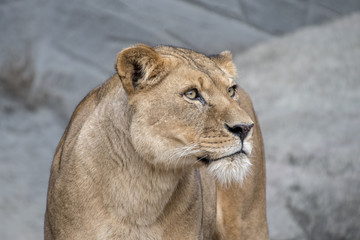 the proud lioness