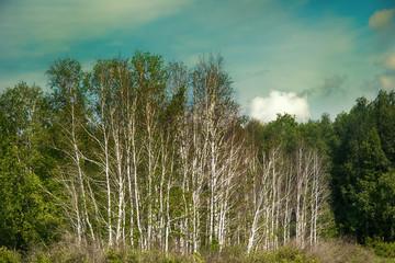 Beautiful landscape summer birchwood