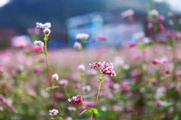 Hill of buckwheat flowers