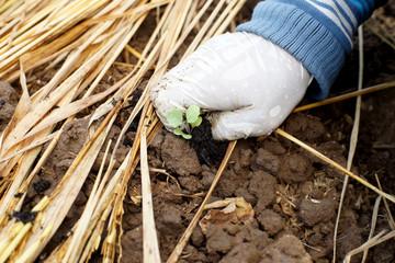 farmer planting lettuce in vegetable garden