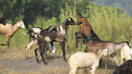 Two Goats Fighting for Dominance in Herd.