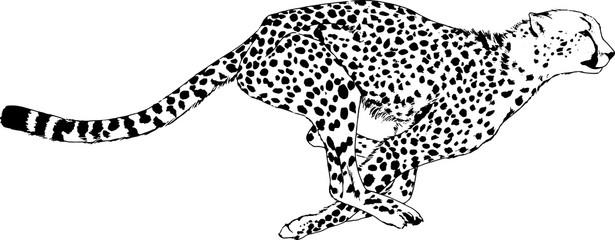 running Cheetah drawn with ink from hands without the background sketch