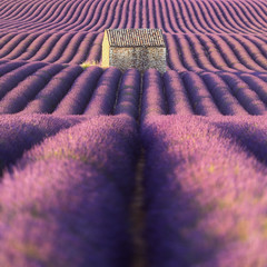 Autocollant pour porte Rose banbon Champ de lavande et cabanon. Provence, France