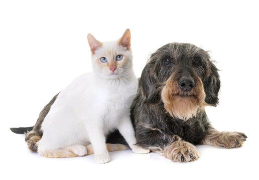 dachshund and kitten