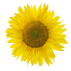 sunflower lush bloom isolated on white