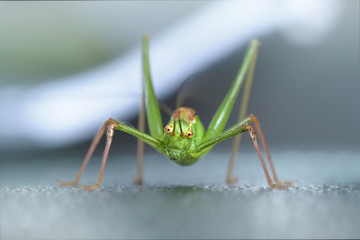 Grashopper, close-up