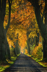 AUTUMN ROAD - Avenue beech in autumn colors