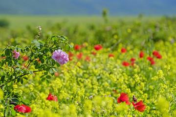 Poppy field in mountains 5
