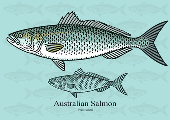 Australian Salmon. Vector illustration for artwork in small sizes. Suitable for graphic and packaging design, educational examples, web, etc.