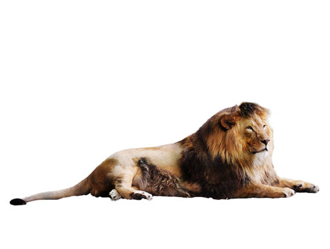 Lion laying full size isolated at white