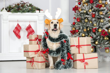 funny dog in antlers posing with Christmas gifts