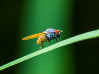 Drosophila Fruit Fly Diptera Insect on Green Grass