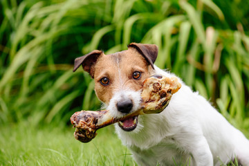 Dog with delicious pet treat bone at garden lawn