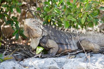 Big Iguana in natural environnement - Cuba