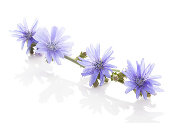 Photo Stands Floral woman Medicinal plant chicory