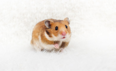 cute syrian hamster in a fluffy background