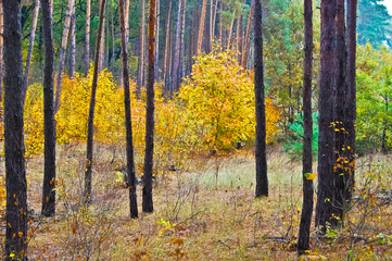 Golden Autumn in the Pine Forest
