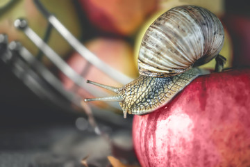 The large Achatina snail crawling on a red Apple on a background of apples.