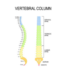Vertebral column. Numbering order of the vertebrae of the human spinal column