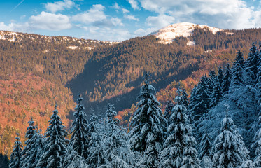 snowy conifer forest in mountains. beautiful nature scenery in evening light