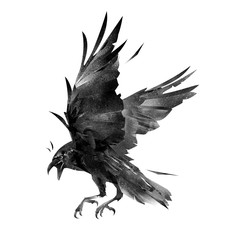 drawing flying bird crow on a white background