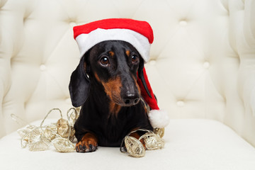 Close-up portrait cute of a dachshund dog, black and tan, in a Christmas red hat and garland lies in a white armchair.