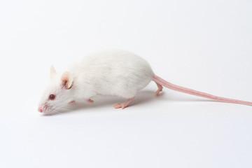 white laboratory mouse close-up isolated on white background