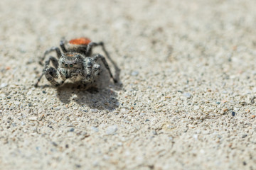 Jumping spider with red back