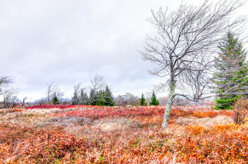 Colorful orange foliage fall autumn fern meadow field in Dolly Sods, West Virginia with windswept bare tree windy