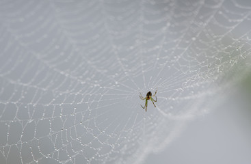 Beautiful spider with web decorated by waterdrops