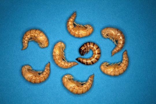 larvae Zophobas morio, superworm, zophobas. By comparison, rebirth.