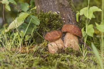 two porcini myshrooms in forest