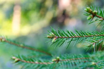 Fir tree brunch close up. Shallow focus.