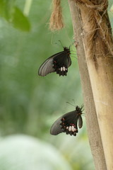 Zwei schwarze Schmetterlinge/roter parides mit roter Flügelzeichnung sitzen in Ruheposition an einem Baumstamm