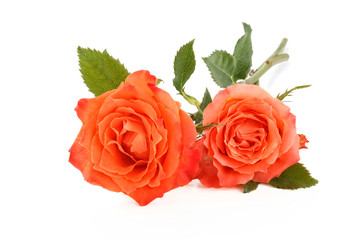 Coral roses on white.