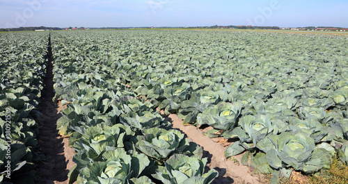 intensive farming green cabbages in northern Europe in the