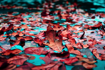 Fall leaves show texture and pattern closeup while the fallen leaves are floating on turquoise blue water.  Bright colorful fall image for abstract season background.