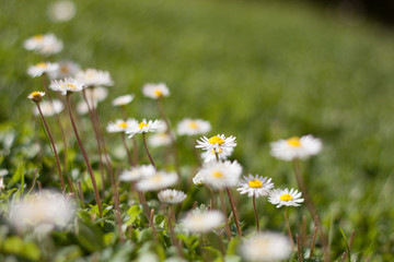 Daisy flowers close-up with white petals, against a blurry background of green grass blades.