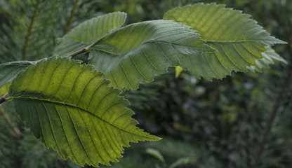 Leaves of hazel