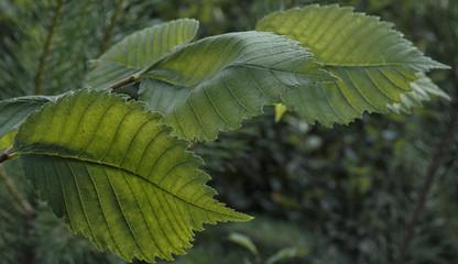 Leaves of hazel