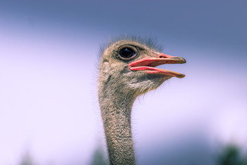 Funny ostrich: hairy and with big eye
