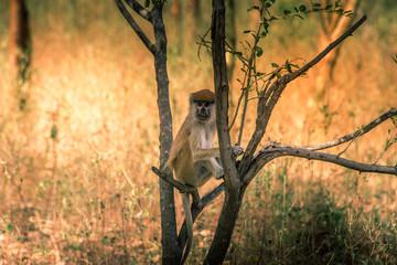 Monkey - Senegal's safari