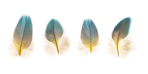 set of beautiful fragile parrot bird feathers isolated on white background