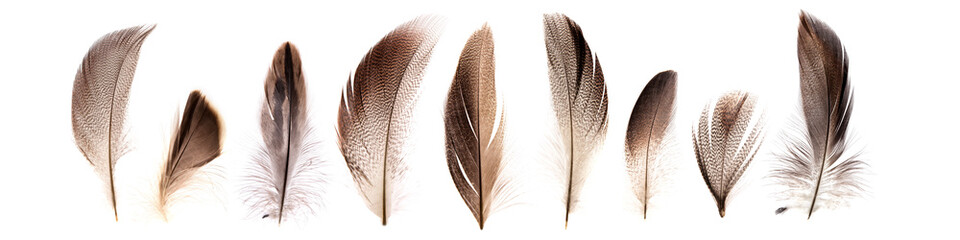set of beautiful fragile pheasant bird feathers isolated on white background