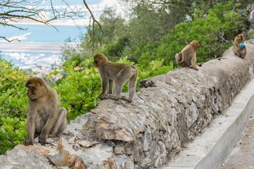 Gibraltar monkey on upper rock