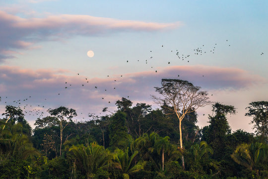 Manu National Park, Peru - August 09, 2017: Large group of green parrots in the Amazon rainforest of Manu National Park, Peru