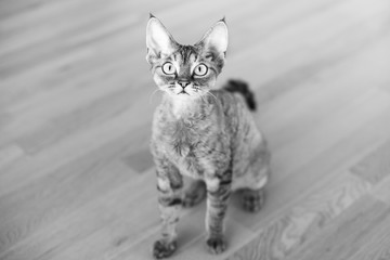 Portrait of a pretty curious Devon Rex cat. Kitty looking strait at camera. Posing. Black and white photo.