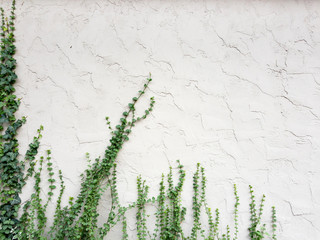 green ivy on wall background
