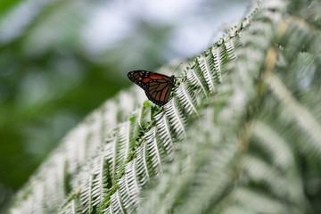Schmetterling als Farnbesucher